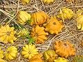 Starr-111004-0585-Cucurbita pepo-gourds-Kula Country Farms-Maui (25000193122).jpg