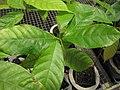 Starr-120522-6572-Theobroma cacao-in pots-Iao Tropical Gardens of Maui-Maui (25117598286).jpg