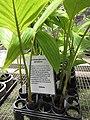 Starr-120522-6592-Archontophoenix purpurea-in pots-Iao Tropical Gardens of Maui-Maui (24848313310).jpg