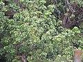 Starr-120608-7302-Litchi chinensis-habit-Ulupalakua Ranch-Maui (27487473228).jpg