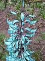 Starr-130312-2206-Strongylodon macrobotrys-flowers-Pali o Waipio Huelo-Maui (24580123603).jpg