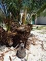 Starr-150326-0915-Cycas circinalis-with Laysan Albatross chick-Chugach HQ Town Sand Island-Midway Atoll (25240882066).jpg