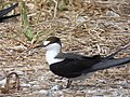 Starr-150403-0276-Brassica juncea-Sooty Terns settling down-Southeast Eastern Island-Midway Atoll (25276066265).jpg