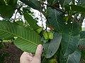 Starr-180406-0761-Terminalia arjuna-fruit leaves-DOFAW Arboretum Hilo-Hawaii (41369382301).jpg