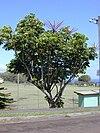 Starr 010425-0062 Schefflera actinophylla