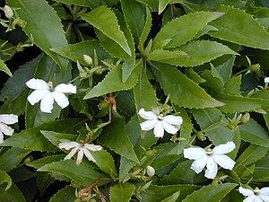Scaevola (plant) - Scaevola chamissoniana