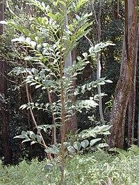 Starr 020925-0134 Flindersia brayleyana