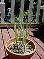 Starr 030418-0102 Allium fistulosum.jpg