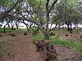 Starr 050204-3671 Prosopis pallida.jpg