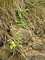 Starr 051122-5324 Asparagus asparagoides.jpg