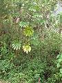 Starr 060810-8513 Cecropia obtusifolia.jpg