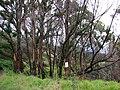 Starr 070908-9223 Eucalyptus robusta.jpg