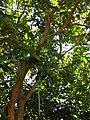 Starr 070910-9469 Dimocarpus longan.jpg
