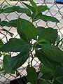 Starr 080117-1676 Hydrangea paniculata.jpg