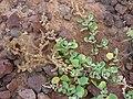 Starr 080314-3525 Chenopodium oahuense.jpg