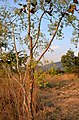 Steganotaenia araliacea.jpg