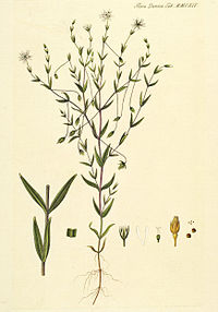 Stellaria crassifolia.jpg