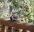 Steve the Squirrel, Grand Lake, CO 8-28-12 (8071503413).jpg