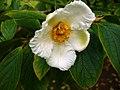 Stewartia pseudocammelia var. koreana.jpg