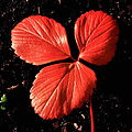 Strawberry leaf in autumn.jpg