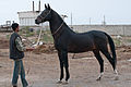 Studfarm in Turkmenistan - Flickr - Kerri-Jo (2).jpg