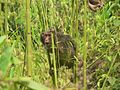 Stump tailed Macaque P1130751 05.jpg