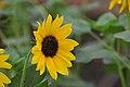 Sunflower (Helianthus) March 2019. DSC 0074 01.jpg