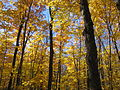 Superior Hiking Trail Yellow Maples (54920220).jpg
