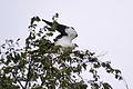 Swallow-tailed Kite (Elanoides forficatus) (14925644046).jpg