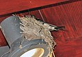 Swallow and nest in Urquhart Castle.jpg