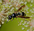 Symmorphus sp. - Flickr - S. Rae (1).jpg