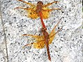 Sympetrum croceolum(Couple,Japan,2017.10.25).jpg
