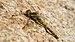 Sympetrum vulgatum, female.jpg