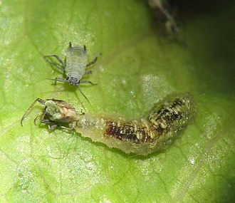 Biological pest control - Syrphus hoverfly larva (below) feed on aphids (above), making them natural biological control agents.