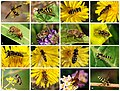 Syrphidae poster 2.jpg