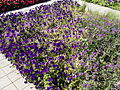 Szent István Park. Flower bed. Blue. - Budapest.JPG