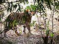 TIGER AT BANDHAVGARH.jpg