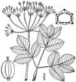 Taenidia integerrima BB-1913.png