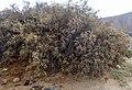 Tamarix canariensis kz5 adj.jpg