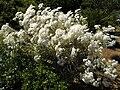 Tanacetum ptarmiciflorum 'Silver Feather' 3.JPG