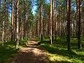 Tarasovo-trees-arkhangelsk-oblast-russia-18-7-2015.jpg