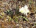 Taraxacum arcticum (Longyearbyen).JPG