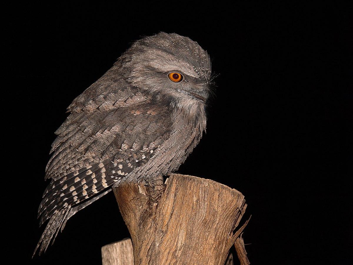 Free bird gape - 1 5