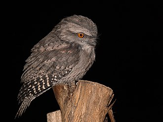 Frogmouth - Tawny frogmouth, at night