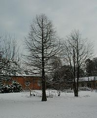 Taxodium-distichum-winter.JPG