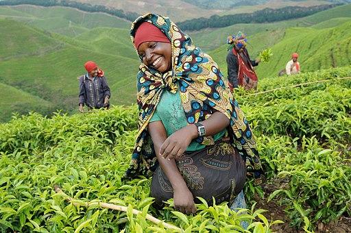 Tea field workers in rwanda