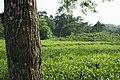 Tea garden at Rangapani tea estate 9.jpg