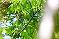 Tennessee warbler (27738281618).jpg