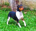 Terrier brasileiro.jpg