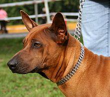 Black Thai Ridgeback Dog